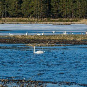 Лебеди на Артинском пруду.