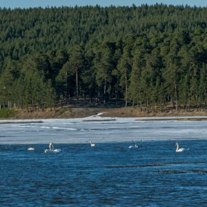 Поселок Арти. Лебеди на пруду
