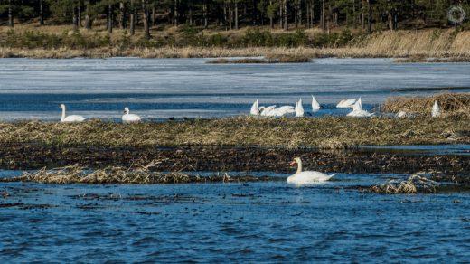 Лебеди на Артинском пруду. 17 апреля 2019 года.